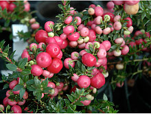1 Pianta Di Gaultheria Mucronata Rosa O Bianca