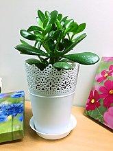 1 pianta di giada sempreverde/pianta dei soldi