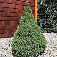 1 PIANTA di Picea GLAUCA December Vaso 13CM