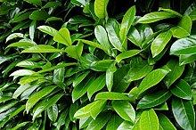 1 PIANTA di Prunus LAUROCERASUS Lauro da SIEPE