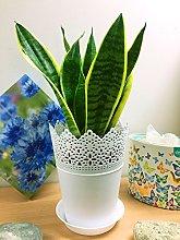 1 pianta sempreverde madre in legge/serpente