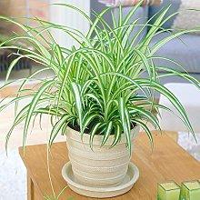 1 x Chlorophytum Variegatum | Pianta Ragno