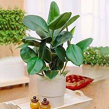 1 x Ficus Robusta | Pianta in Vaso Sempreverde