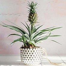 1 x Sempreverde Ananas comosus Amigo | Premium