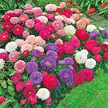 100 Aster Semi cinese crisantemo ornamentali semi