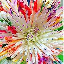 100 Pz crisantemo di semi di fiori bellissimi semi
