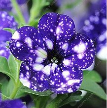 100 semi di semi di petunia rara blu semi della