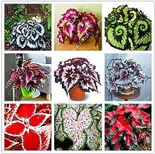 100pcs / bag bella Begonia, semi di begonia bonsai