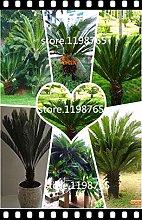100pcs / bag semi Cycas, Sago Palma seeds.bonsai