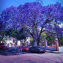 *** 100pcs Belle Semi Jacaranda fiore di DIY si