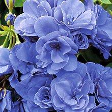 100Pcs Blu Geranium Seed Semi bonsai semi di fiore