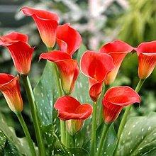 100Pcs Calla Lily Calla Seeds Bonsai Pianta In