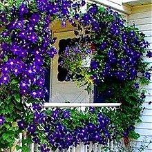 100pcs Clematis rampicante semi di vite fiore
