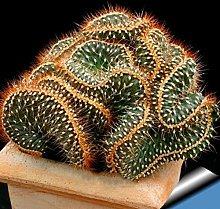 100Pcs Mini Cactus Geranio Semi Di Piante In Vaso