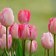 100Pcs Tulip Seeds Giardino Outdoor Vaso Bonsai