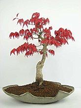 10kinds Maple Seeds Bonsai piante in vaso giardino