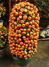 1bag = 50pcs Kumquat Semi arancione balcone patio