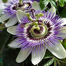 2 x Passiflora caerulea - Set di 2 piante