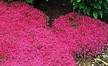 200 Timo serpillo Sementi di fiori Sementi Roccia