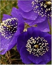 200PCS Belle papavero viola semi di petalo di