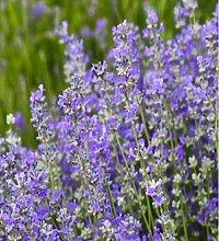 200pcs/lotto piante giardino aromatico Bambina