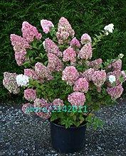 20pcs/bag di semi di Ortensia, Hydrangea