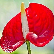 20pcs/lot rare semi di fiore Anthurium Andraeanu