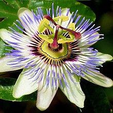 3 x Passiflora | Acquista 3 / Paga 2 - Fiore della