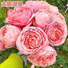 300 rose pianta rampicante fiore rosa piantina