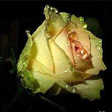 40Pcs Semi Di Fiori Di Rosa Giardino Domestico