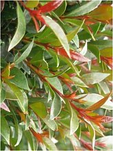 5 pz pianta di eugenia myrtifolia siepe arredo