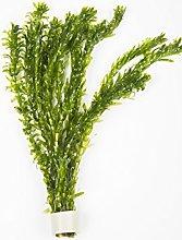 5x Elodea Densa, pianta ossigenante per stagno