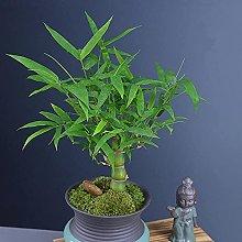 50 pezzi di semi di bambù perenni piantati in