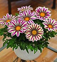 50 semi / sacchetto Semi di fiori Gazania rigens,