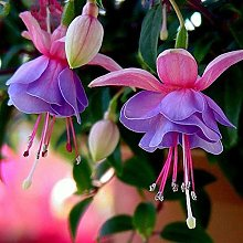 50pcs / bag viola doppio petali fucsia Semi Belle