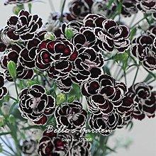 50pcs Dianthus 'Blackjack' semi Hardy