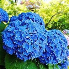 50Pcs Semi Di Ortensia Blu Giardino Giardino