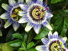 5pcs Passiflora (Passiflora incarnata), pianta