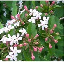 5pz abelia arredo giardino balcone pianta da