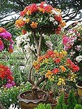 6 100 Mix Colore Bougainvillea Balcone Pot,