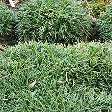 6 x Ophiopogon Japonicus 'Minor' - Perenni