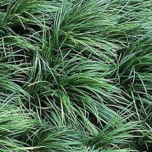 6 x Ophiopogon Japonicus - Perenni Vaso 9cm x 9cm