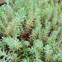 6 x Sedum Reflexum - Perenni Vaso 9cm x 9cm