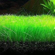 Aamish Pianta acquatica dell'erba acquatica da