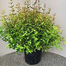 ABELIA GRANDIFLORA │ Pianta sempreverde in vaso