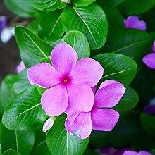 AchidistviQ 10 Pezzi Semi Di Pervinca Rosa Arbusto