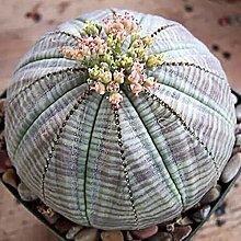 AchidistviQ 20 Pz Euphorbia Obesa-Cactus