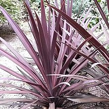 AchidistviQ 30Pcs Cordyline Fruticosa Seeds