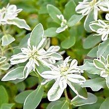 AchidistviQ 50Pcs Euphorbia Marginata Seeds