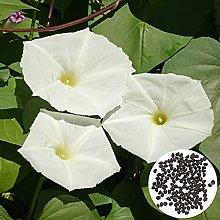 AchidistviQ Moonflower Rampicante Pianta